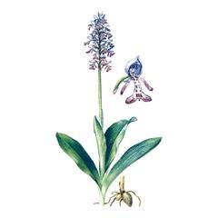 Ятрышник шлемоносный (Orchis militaris)