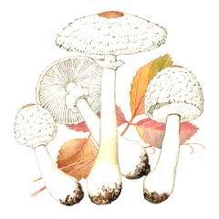 Грибы гриб зонтик девичий macrolepiota puellaris