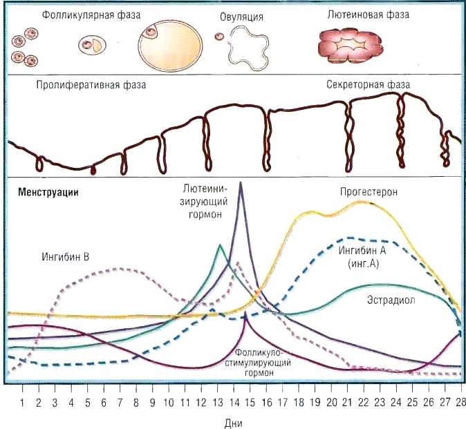 Менструальный цикл и его периоды фазы