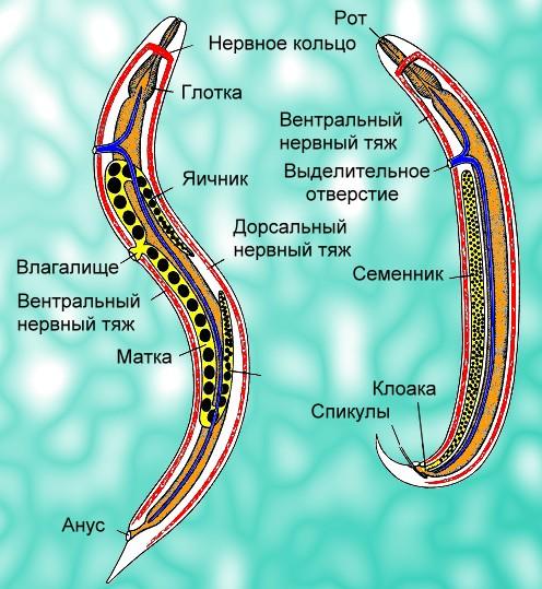 Круглые черви паразиты реферат 3190