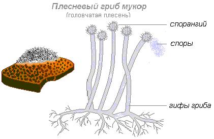 чем отличаются сапрофиты от паразитов
