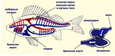 Дыхательная система рыбы доклад 9608