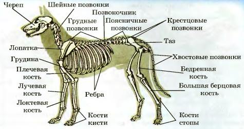 слой сделан рассмотрите рисунок напишите названия костей скелета млекопитающих стоит обратить внимание