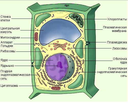 Схема строения клеток
