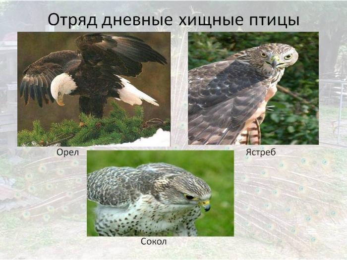 Дневные хищные птицы доклад 4705